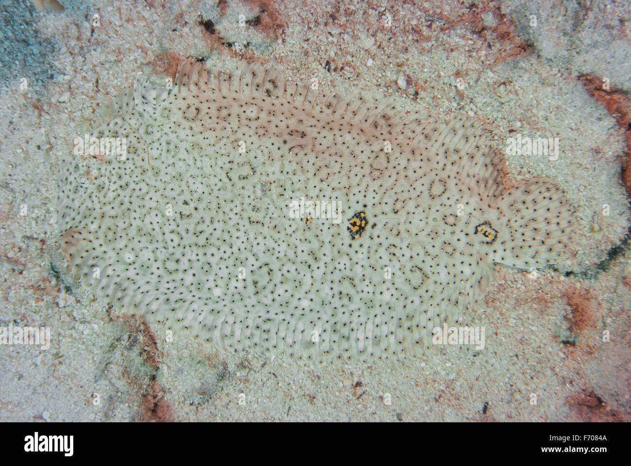Mosè suola, Padachirus marmoratus, Soleidi, Sharm el Sheikh, Mar Rosso, Egitto Immagini Stock