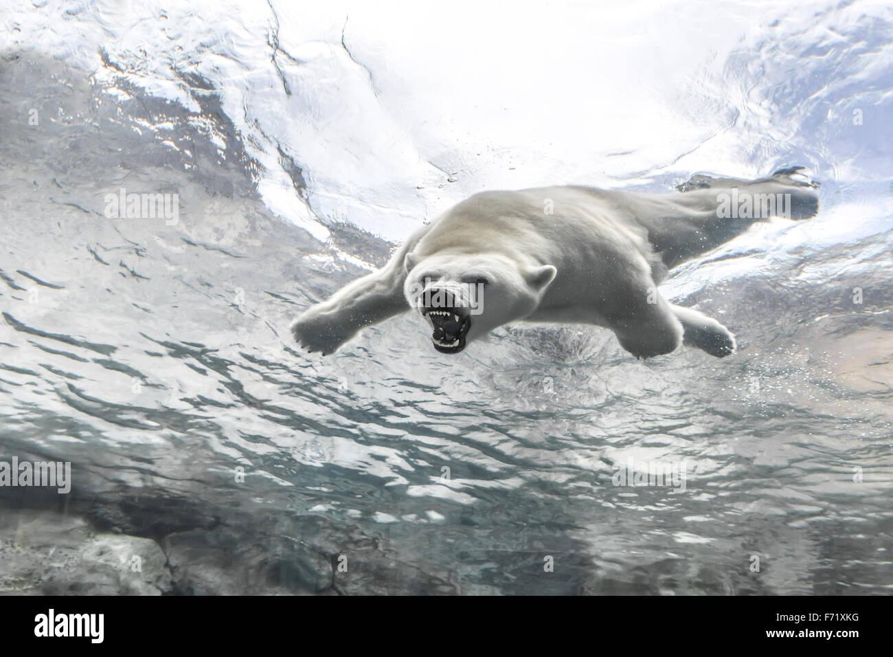 Aggressivo orso polare, nuoto sott'acqua di viaggio a Churchill, Assiniboine Park Zoo, Winnipeg, Manitoba, Canada Foto Stock