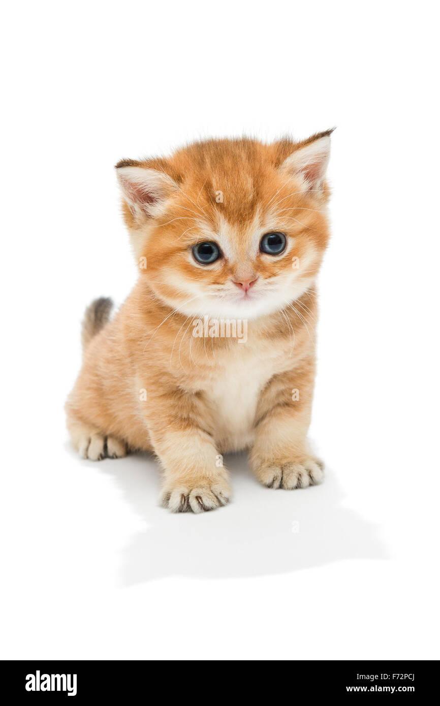 Piccolo Gattino Razza British Il Marmo Rosso Di Colorazione Letà