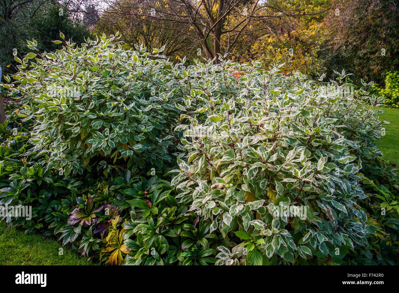 Cornus alba (avorio alo) ' Bailhalo' Immagini Stock