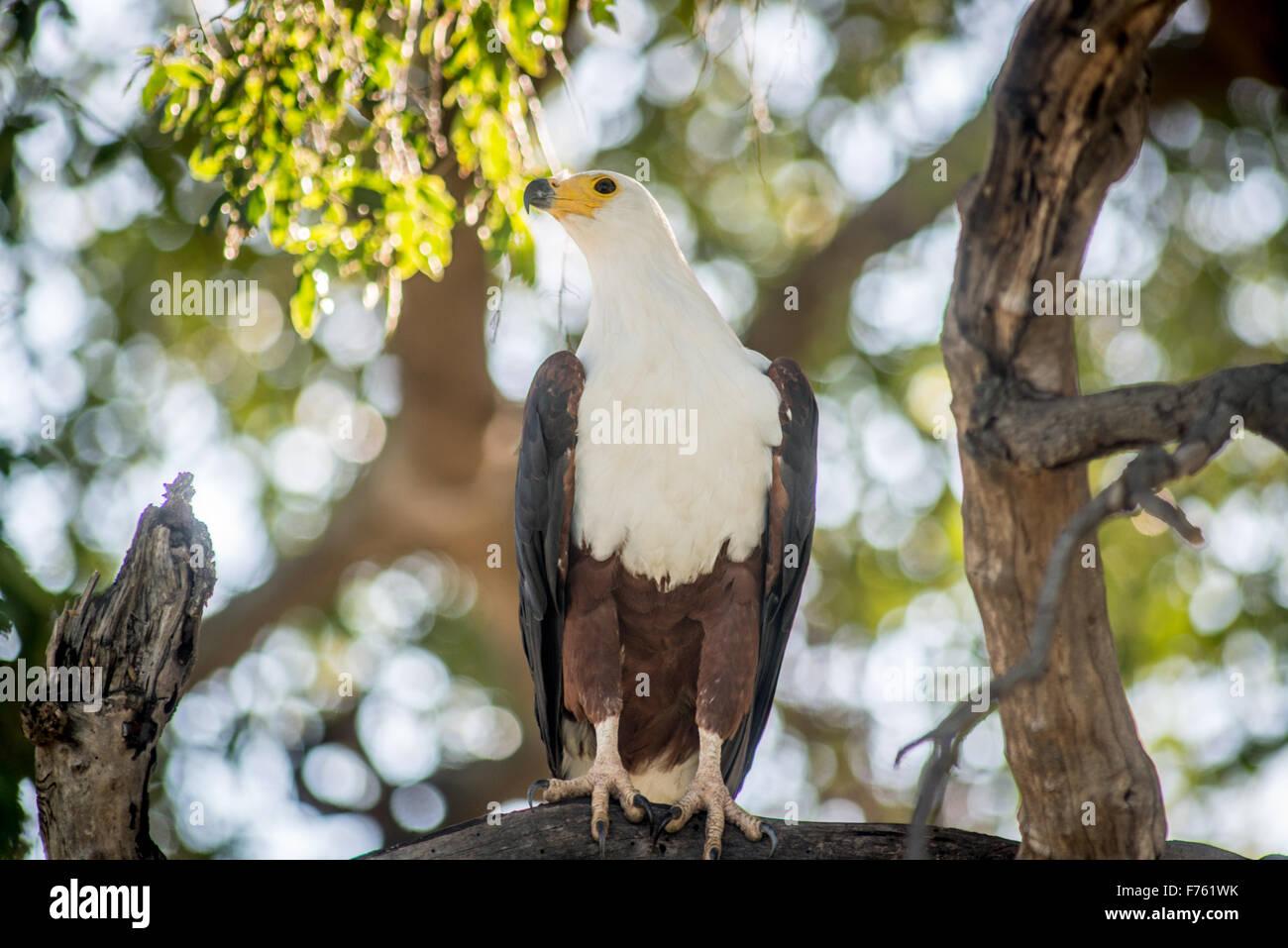 Sud Africa - Parco Nazionale Kruger Fish eagle (Haliaeetus vocifer) Immagini Stock