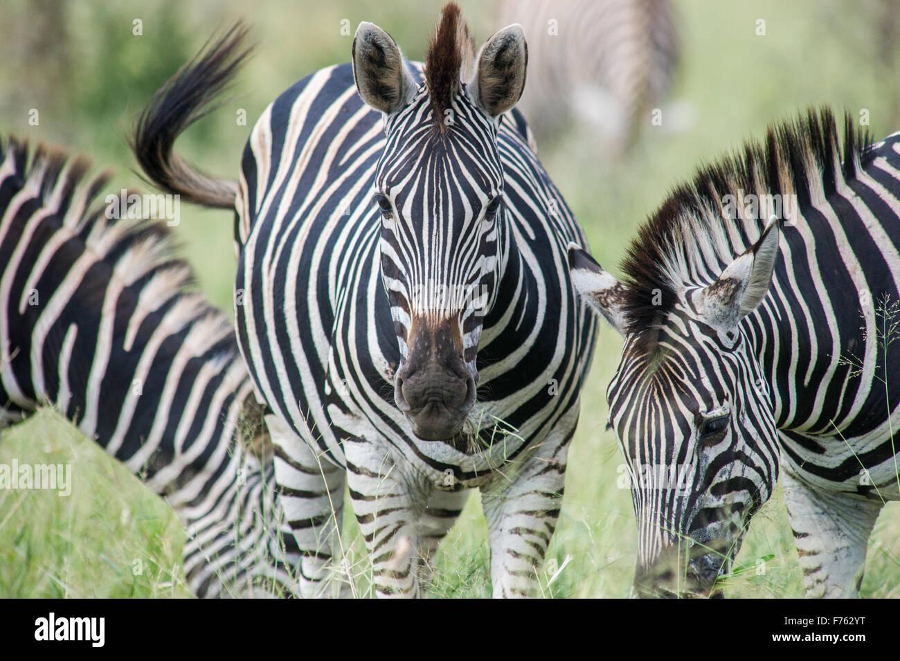 Sud Africa - Parco Nazionale Kruger Zebra (Equus burchelli) Immagini Stock