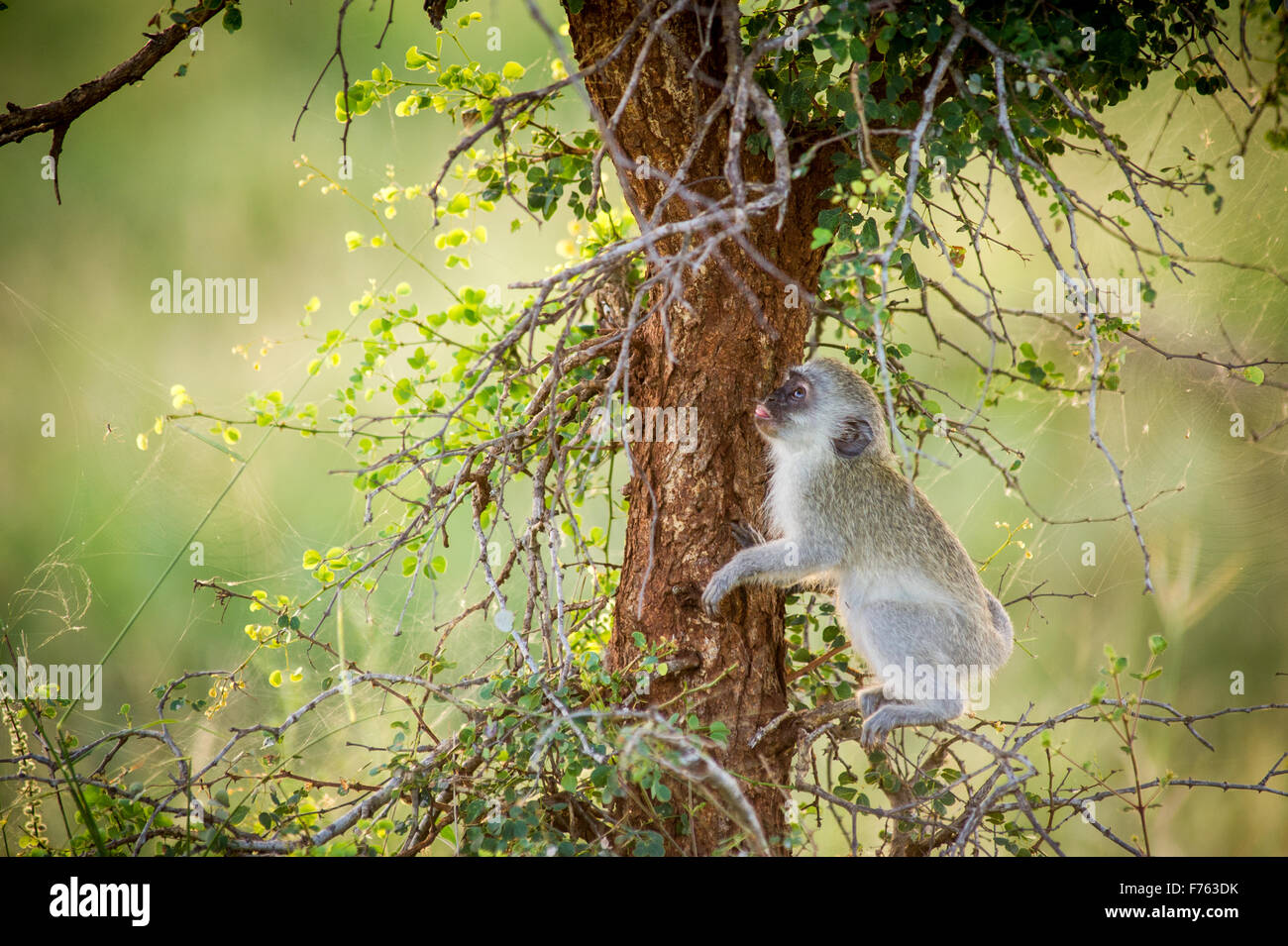 Sud Africa - Parco Nazionale Kruger Vervet Monkey (Chlorocebus pygerythrus) Immagini Stock