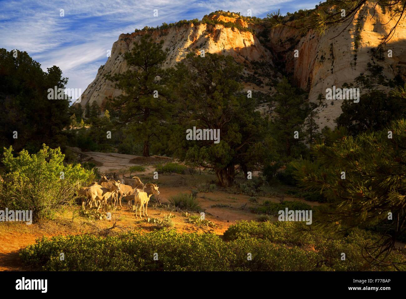 Grande cornuto pecore. Parco Nazionale di Zion, Utah Immagini Stock