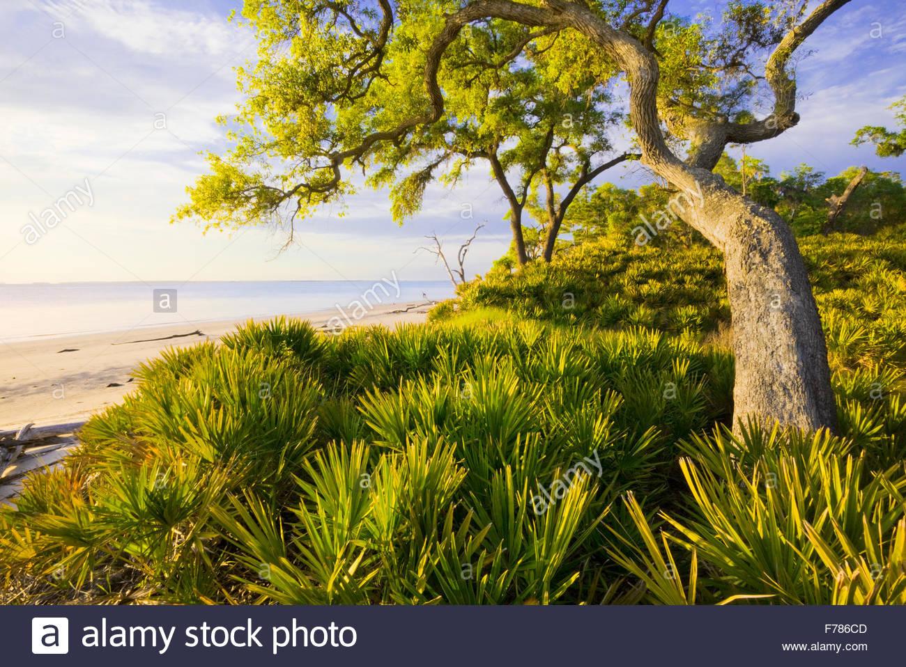 'Saw palmetto' e [sabbia live oak] 'St. Catherine's Island' Georgia. Foto Stock