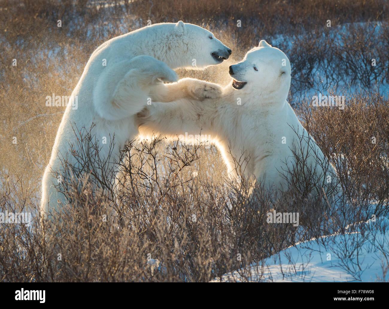 Gli orsi polari (Ursus maritimus) sparring con retroilluminazione Immagini Stock