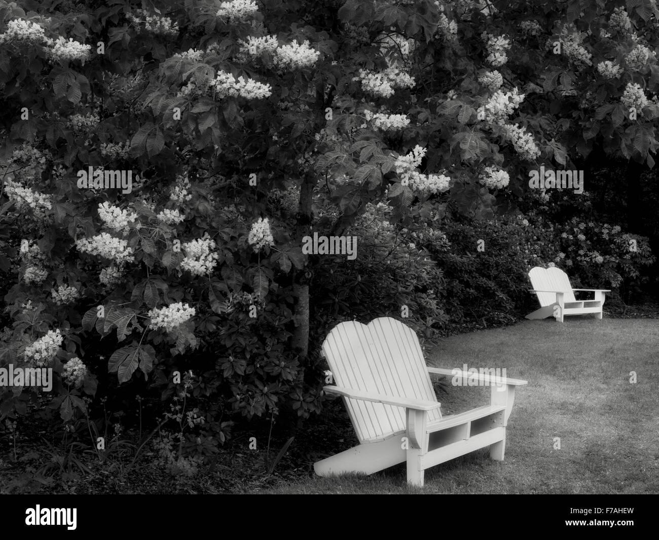 Sedie e fioritura ippocastani. Iris Schrieners giardini. Oregon Immagini Stock