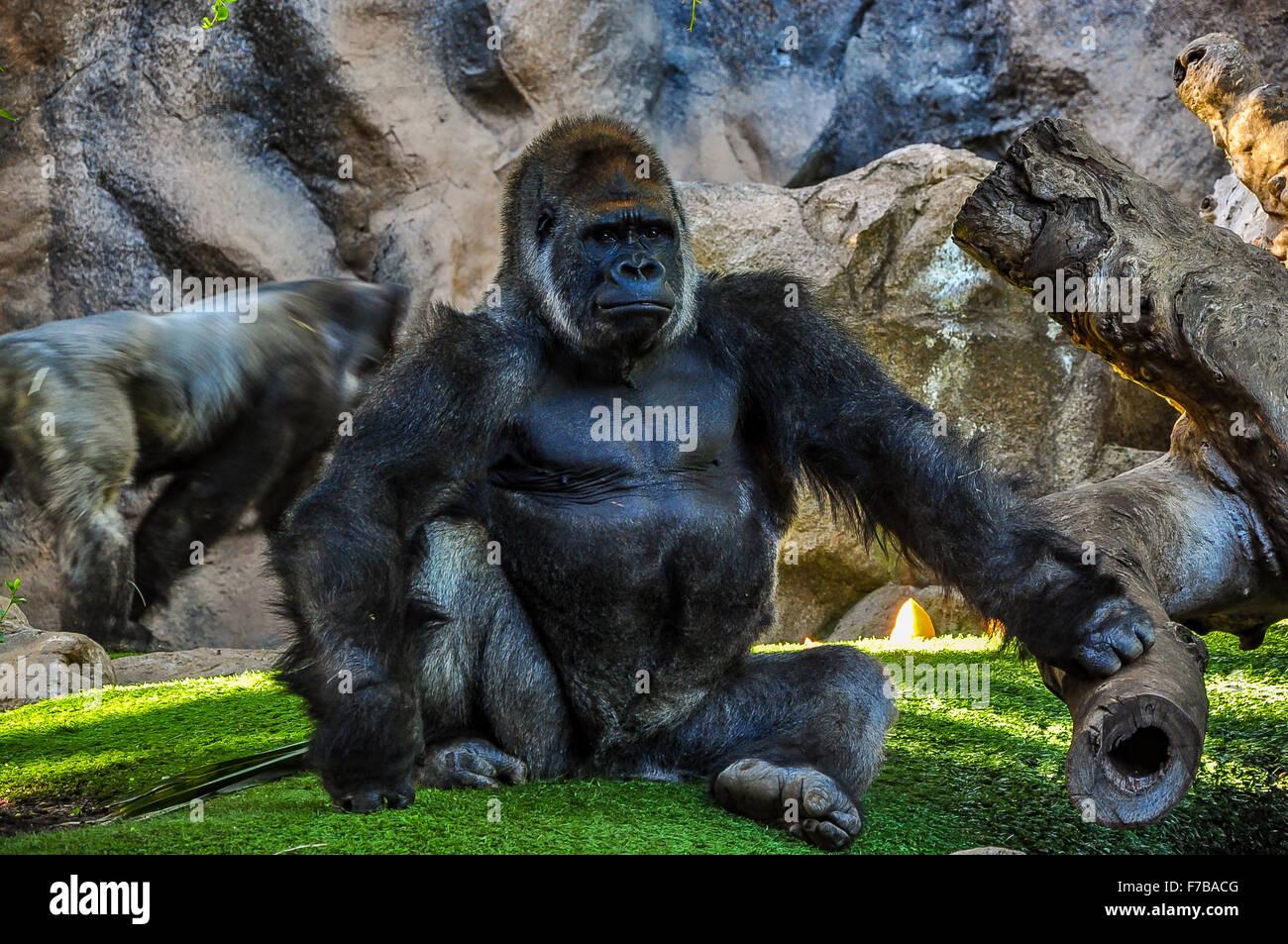 Maestoso gorilla allo zoo Immagini Stock