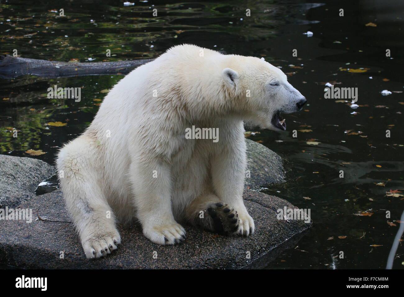 Coppia di orso polare (Ursus maritimus) sbadigli vicino al bordo dell'acqua Immagini Stock