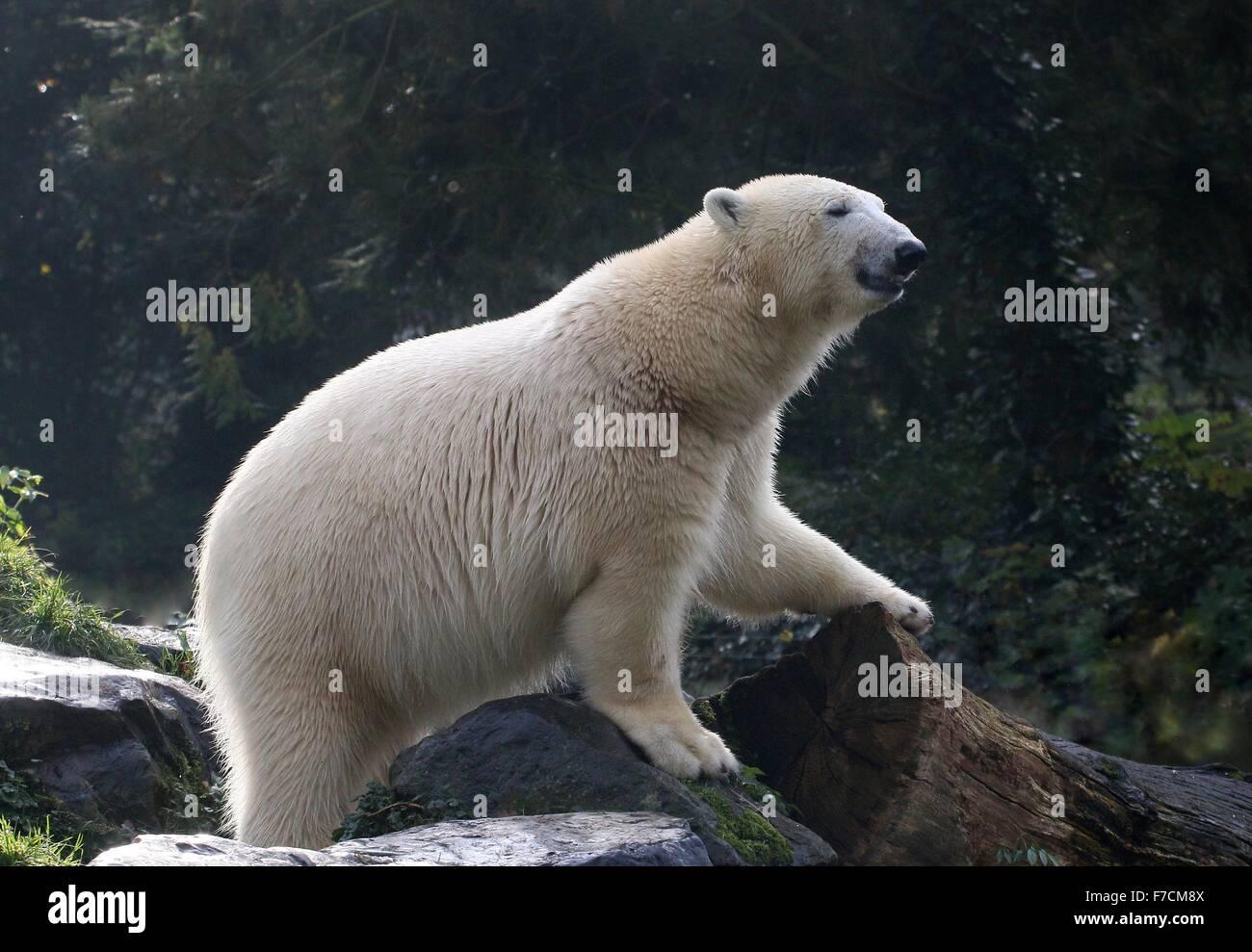 Coppia di orso polare (Ursus maritimus) esplorare Immagini Stock