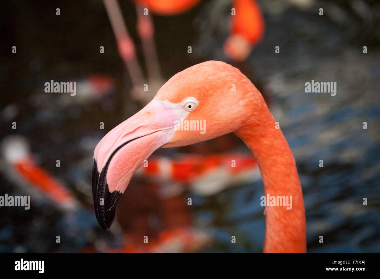 Un Americano Flamingo (Caraibi Flamingo) in cattività presso il Victoria Butterfly Gardens Vicino a Victoria, Immagini Stock