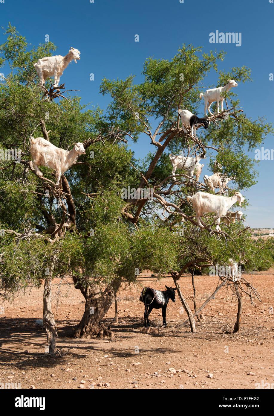 Capre in un albero a Marrakech a Essaouira road in Marocco. Immagini Stock