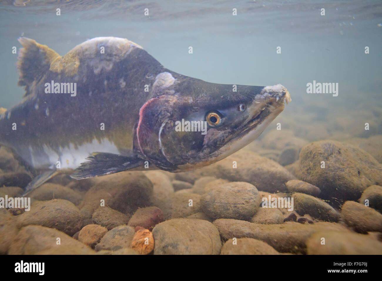 Maschio di rosa salmone ( Oncorhynchus gorbuscha ), Bulkley river, Smithers, BC Immagini Stock