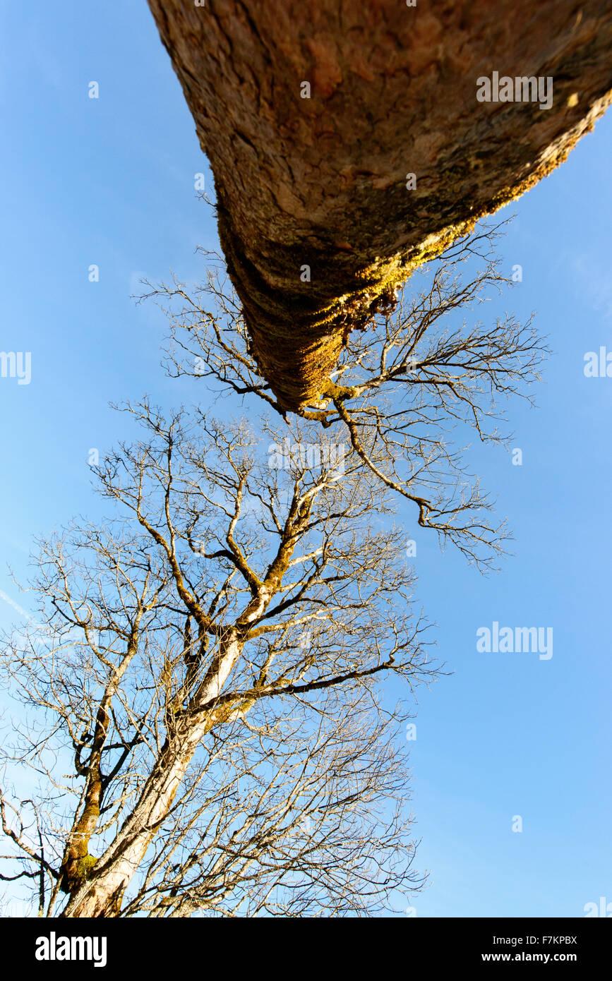 Acer in inverno senza foglie Immagini Stock