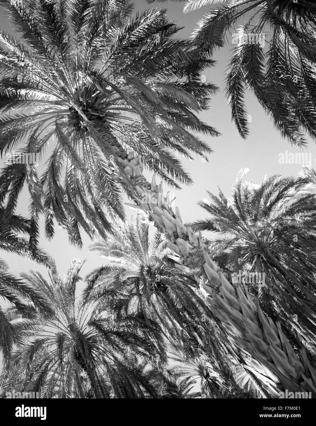La Palmeraie a Tozeur. Tozeur, Tunisia. Immagini Stock