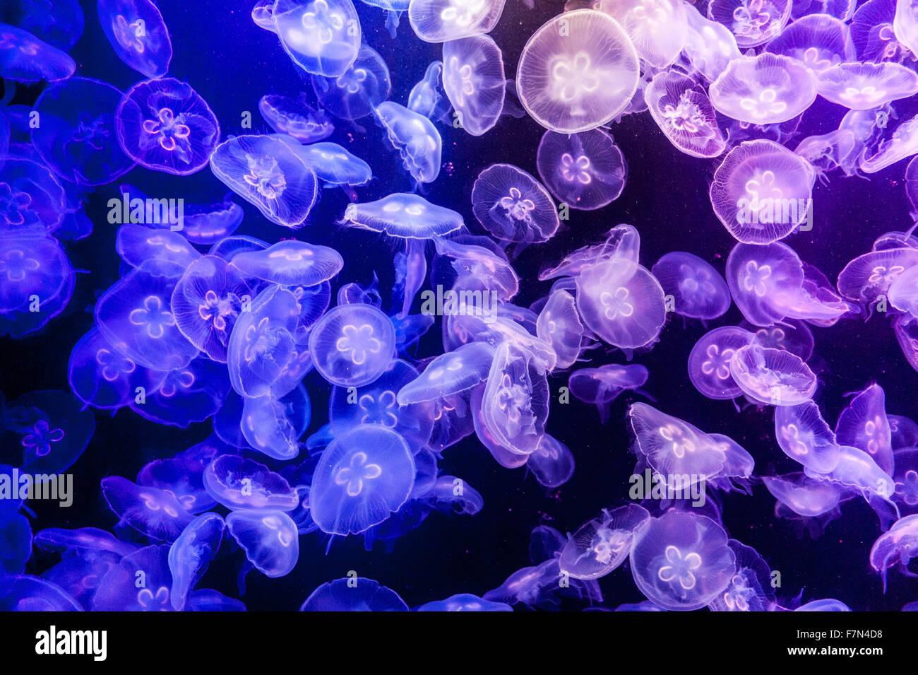 Scuola di gelatina di pesce in acquario con luce blu Immagini Stock