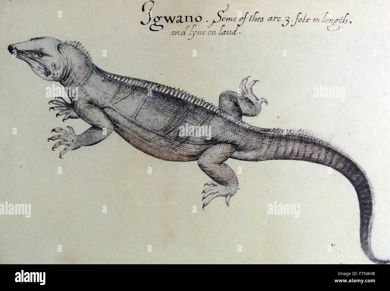Acquerello di un iguana da Giovanni Bianco creato (1585-1586). Immagini Stock