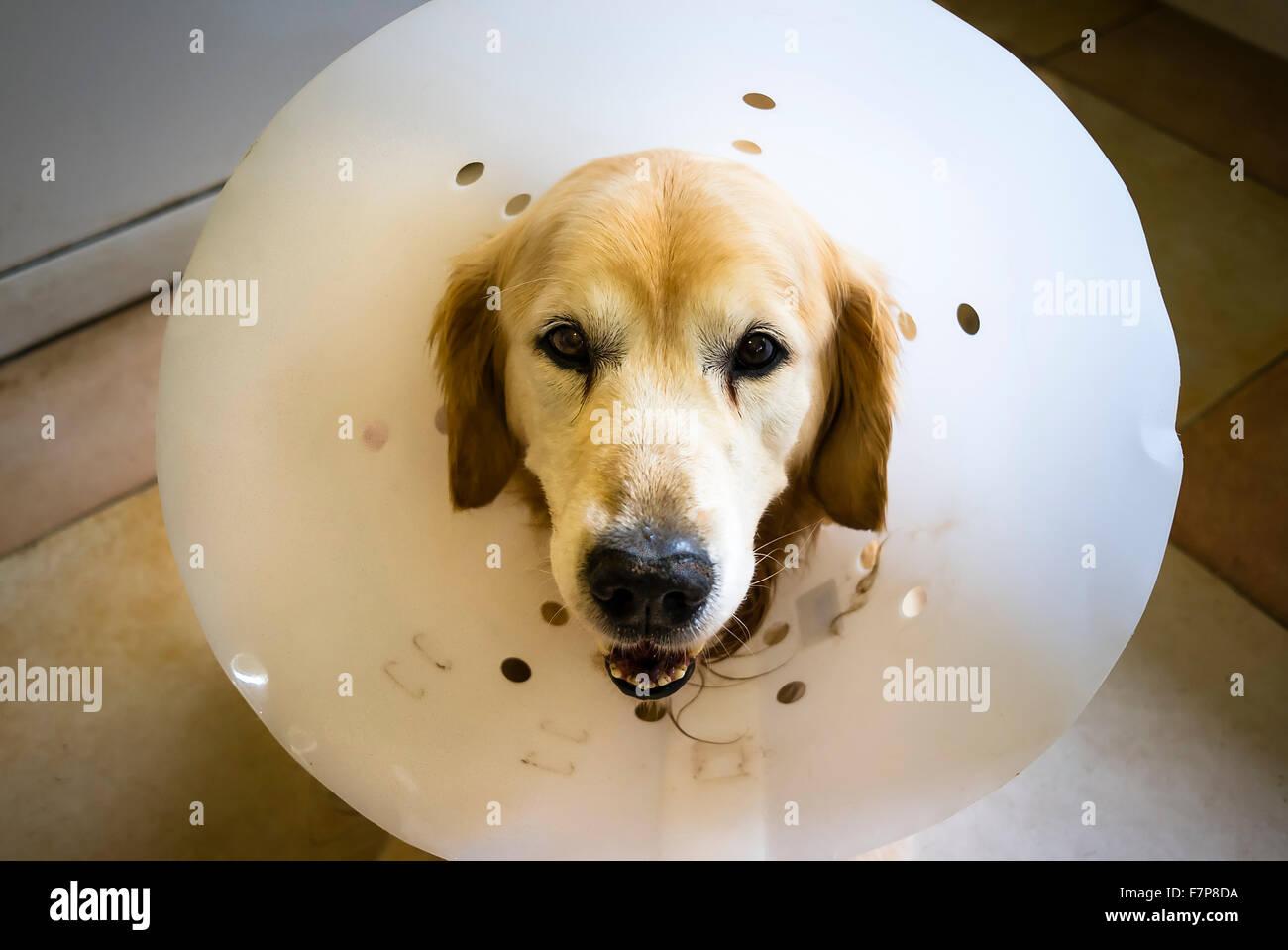 Golden recuperare cane indossando un grande collare per prevenire il peggioramento di una guarigione chirurgica Immagini Stock