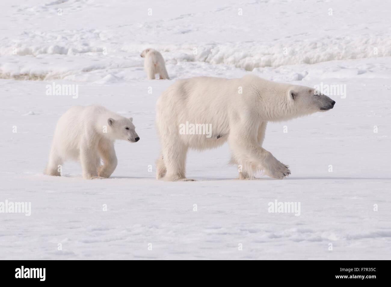 Un orso polare famiglia (Ursus maritimus), Madre e lupetti sul mare di ghiaccio a Sallyhamna, Svalbard Immagini Stock