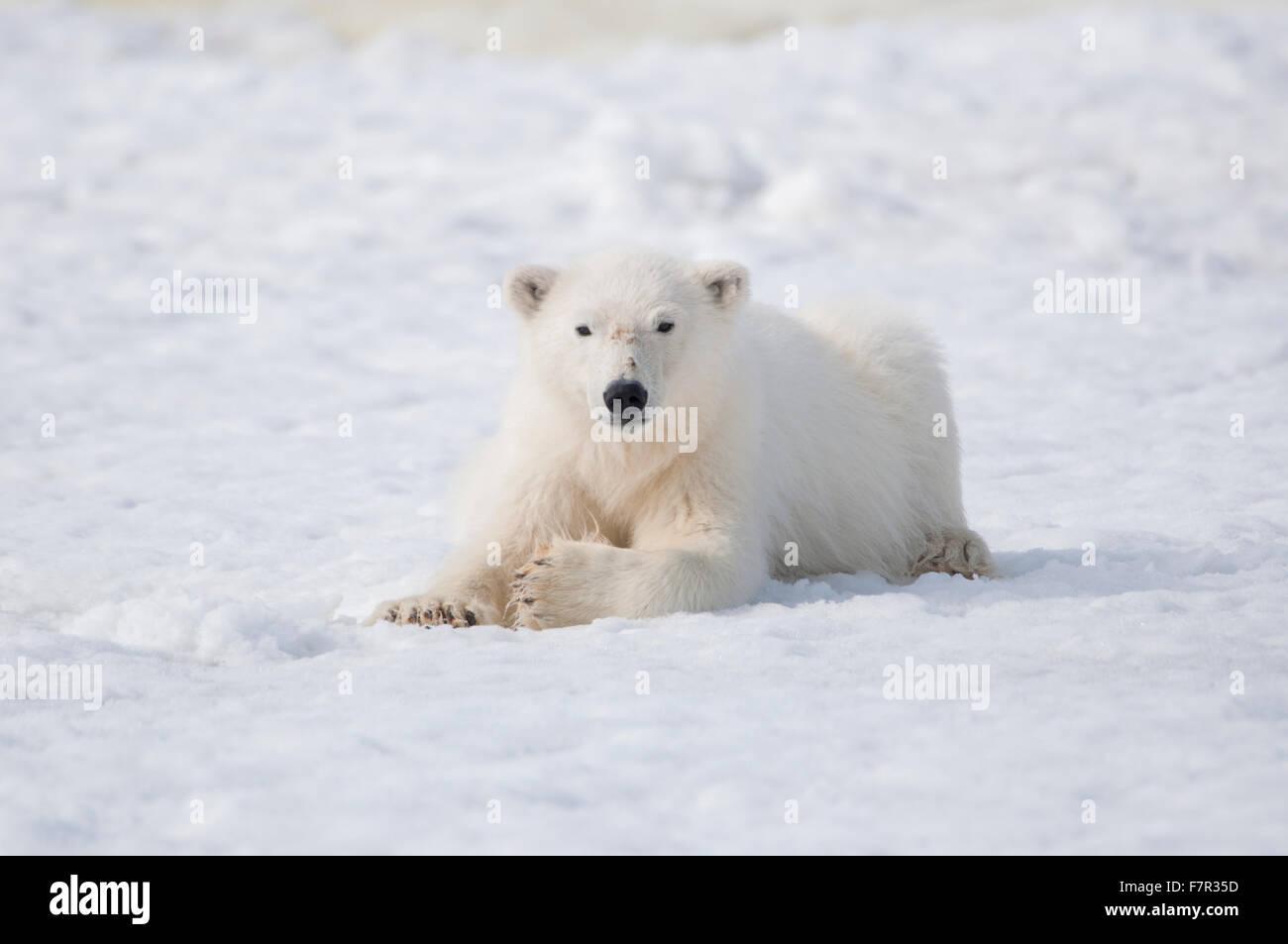 Un orso polare (Ursus maritimus) appoggiata sul mare di ghiaccio in una piccola baia in Sallyhamna, Spitsbergen, Foto Stock