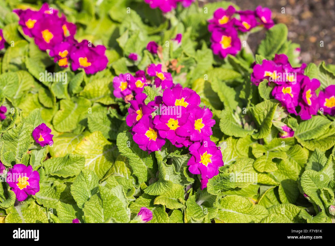 British giardinaggio: viola primula 'Crescendo Rose' fioritura in primavera alla RHS Wisley Gardens, Surrey, Immagini Stock
