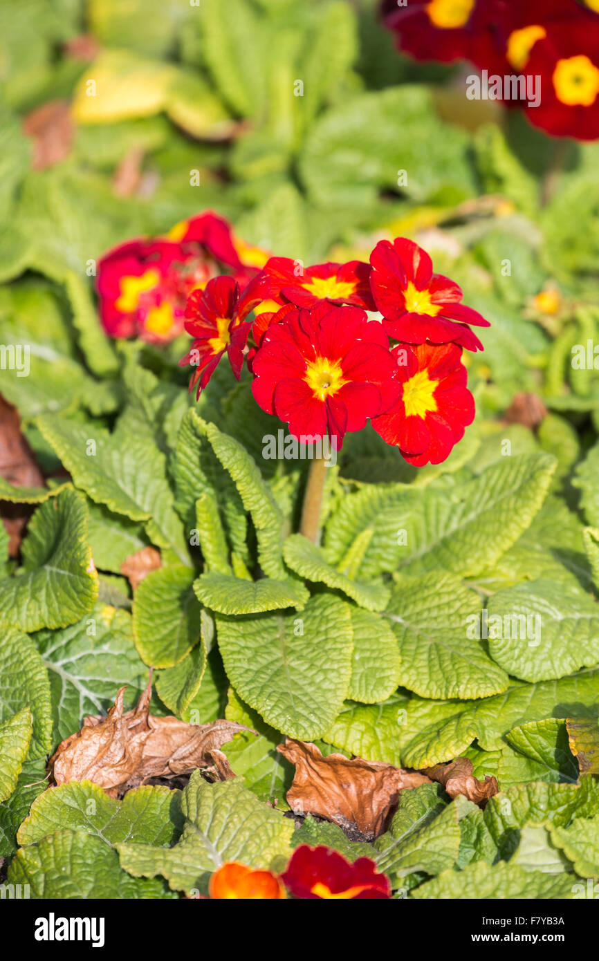 Colorata di rosso e di giallo primula 'Crescendo rosso' fioritura in primavera alla RHS Wisley Gardens, Immagini Stock