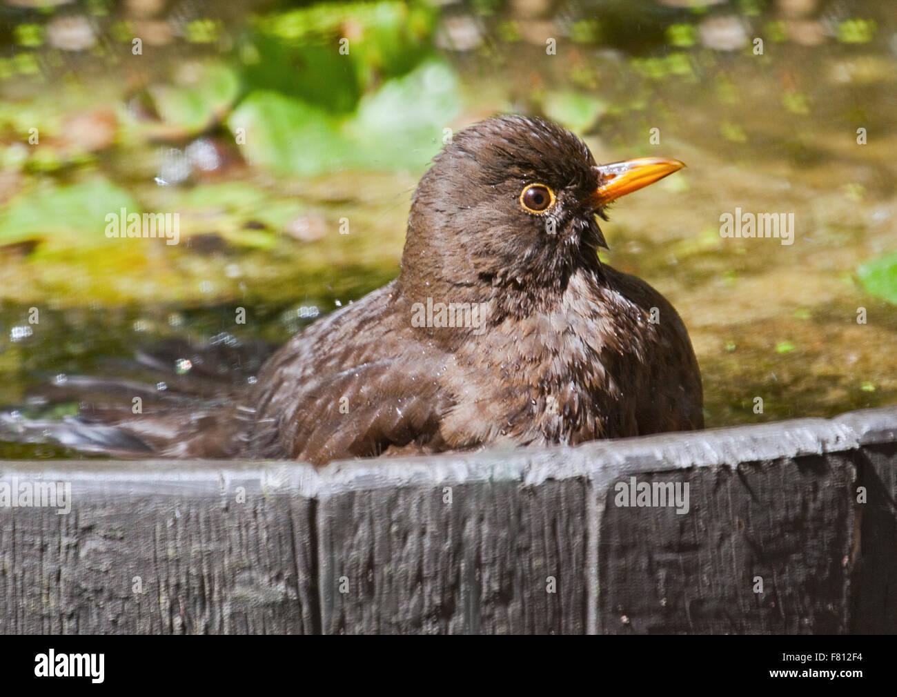 Neonata Blackbird (turdus merula) di balneazione in giardino fontana, REGNO UNITO Immagini Stock