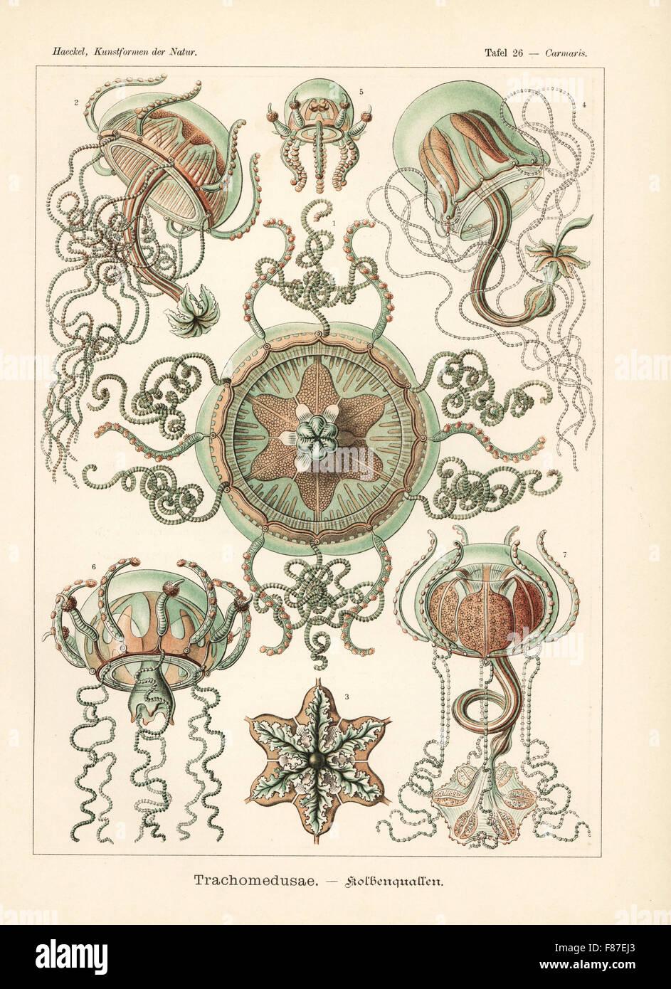 Meduse Trachymedusae: Geryonia proboscidalis 1-7. Chromolithograph da Adolf Glitsch da una illustrazione da Ernst Immagini Stock