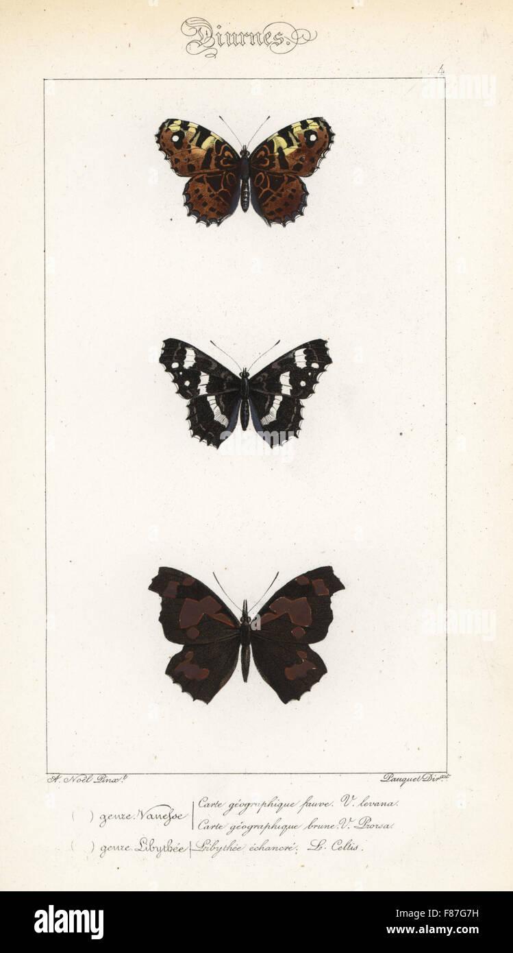Mappa farfalle, Araschnia levana e Araschnia levana prorsa e europea becco o ortica-tree butterfly, Libythea celtis. Foto Stock