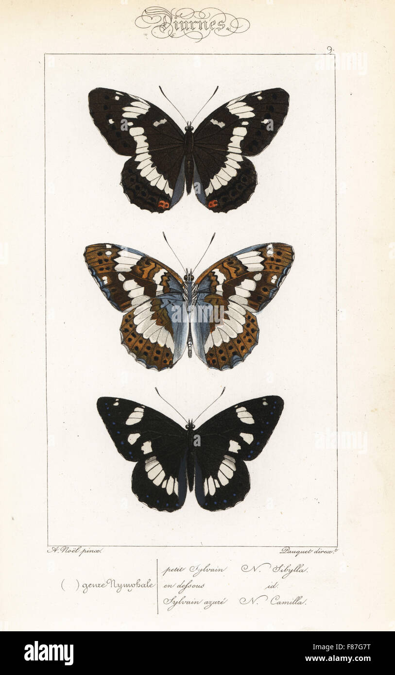 White admiral, Limenitis camilla, dorsale e ventrale di, e il bianco del sud admiral, Limenitis reducta. Handcolored Foto Stock