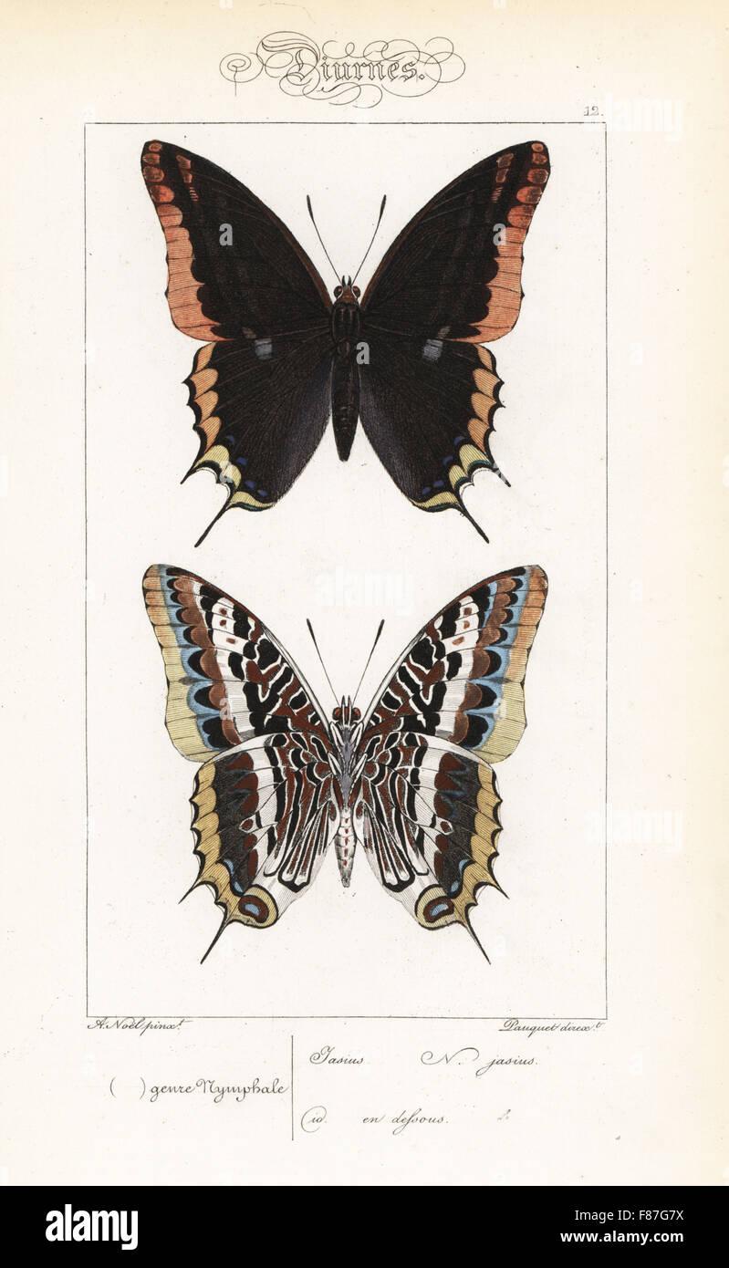 Due-tailed pasha o foxy imperatore, Charaxs jasius, dorsale e ventrale di opinioni. Handcolored incisione in acciaio Foto Stock
