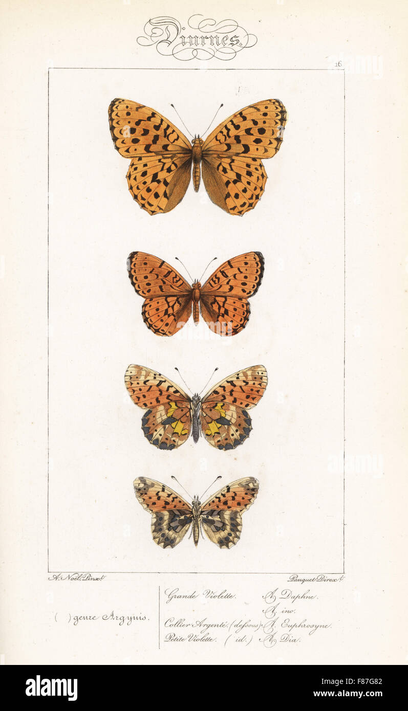 Fritillary in marmo, Brenthis daphne, minore fritillary in marmo, Brenthis ino, perla-delimitata fritillary, Boloria Foto Stock