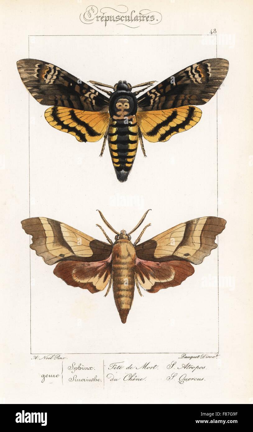 La morte la testa hawkmoth, Acherontia atropo e oak hawkmoth, Marumba quercus. Handcolored incisione in acciaio Foto Stock