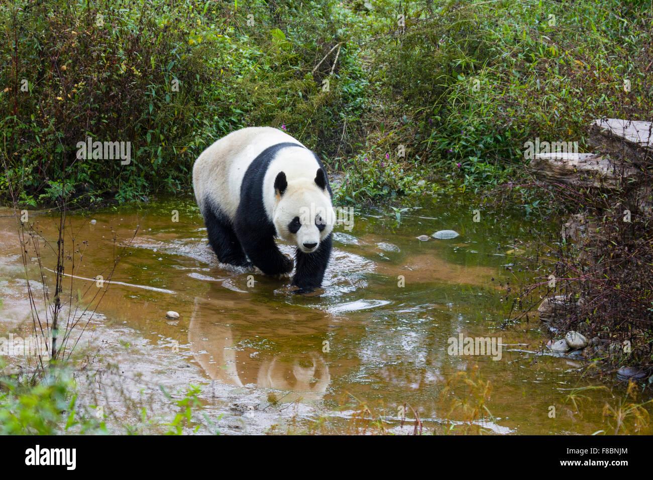 Panda Ailuropoda melanoleuca Bifengia Base Panda nella provincia del Sichuan in Cina MA003064 Immagini Stock