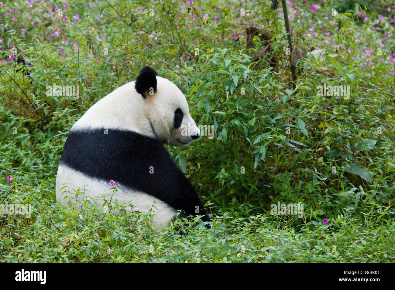 Panda Ailuropoda melanoleuca Bifengxia Panda Base nella provincia del Sichuan in Cina MA003073 Immagini Stock