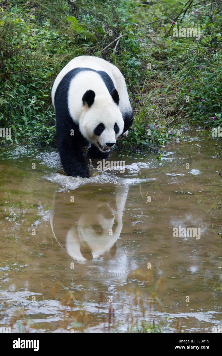 Panda Ailuropoda melanoleuca Bifengxia Panda Base nella provincia del Sichuan in Cina MA003074 Immagini Stock