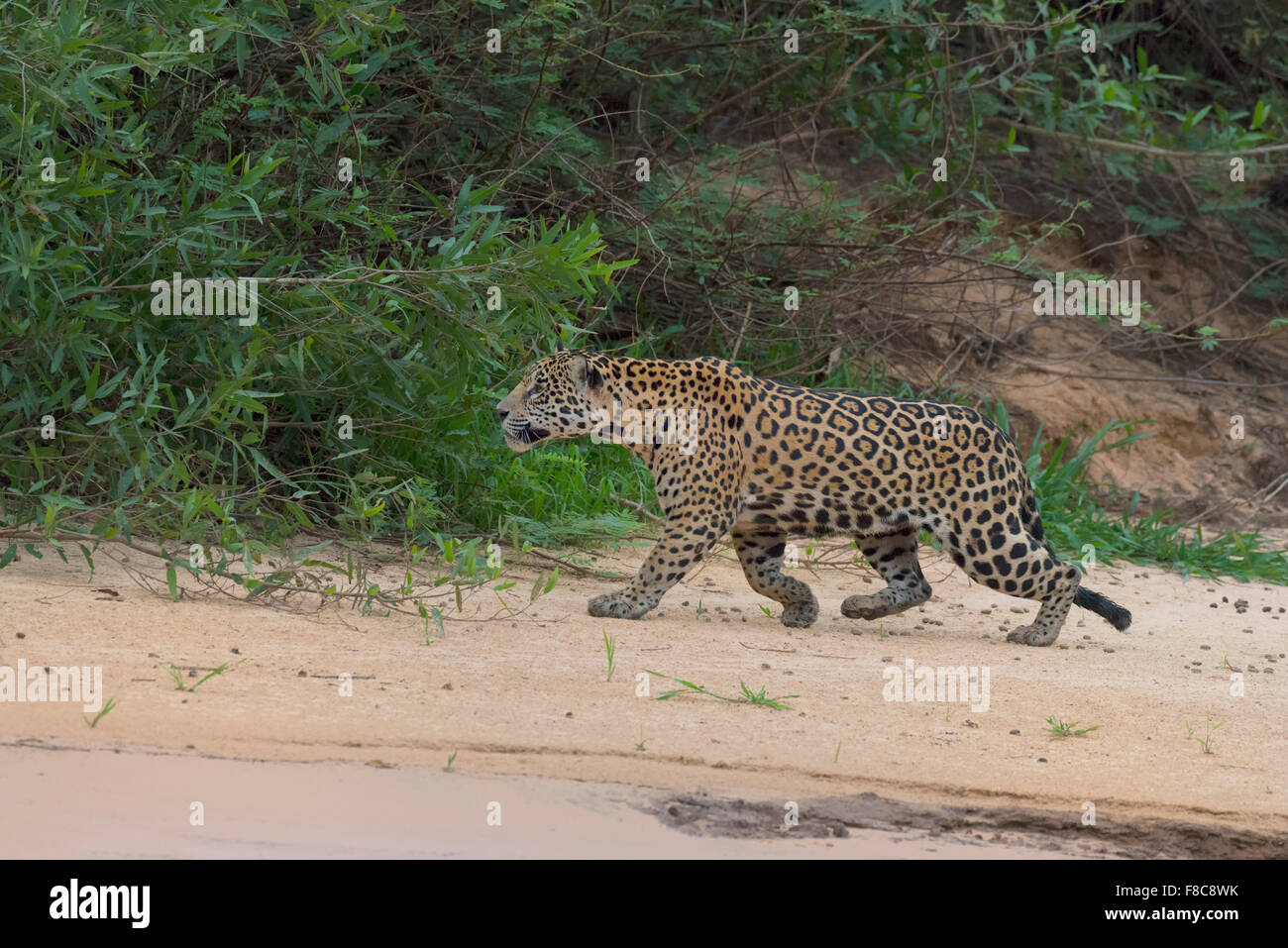 Jaguar (Panthera onca), Cuiaba river, Pantanal, Mato Grosso, Brasile Immagini Stock