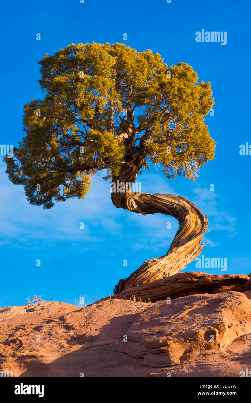 Twisted Utah juniper, Dead Horse Point State Park, Utah Juniperus osteosperma Immagini Stock
