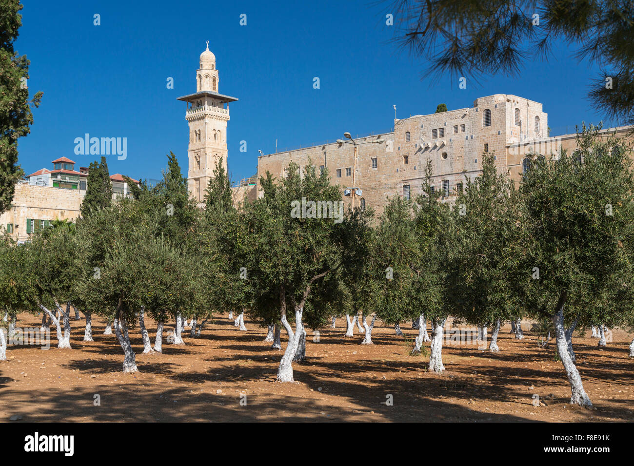 Un oliveto sul Monte del Tempio a Gerusalemme, Israele, Medio Oriente. Immagini Stock