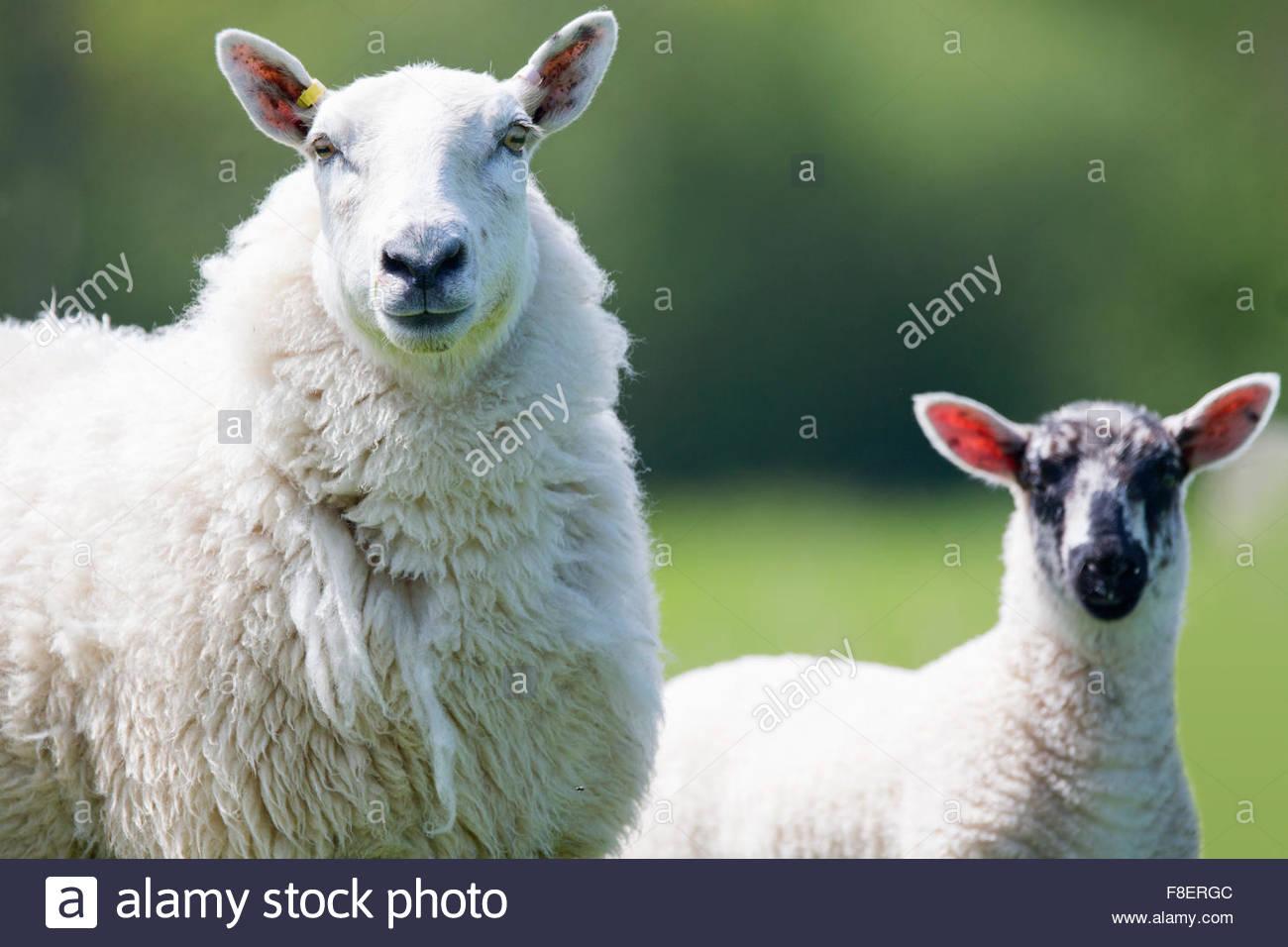 Close up ritratto di pecore e di agnello Immagini Stock