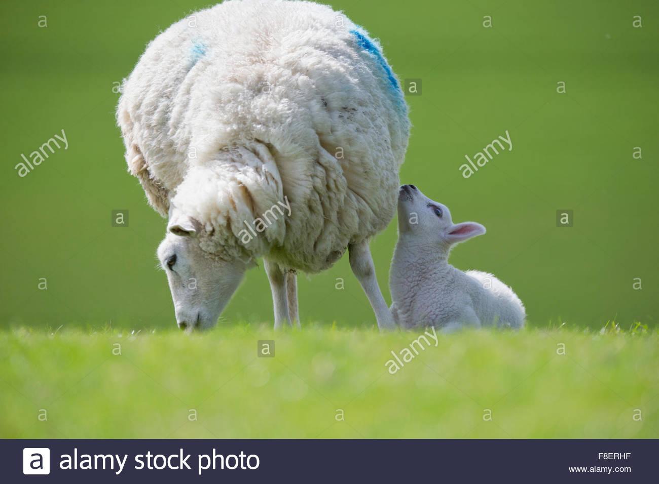 Agnello e pecore al pascolo in verde campo primaverile Immagini Stock