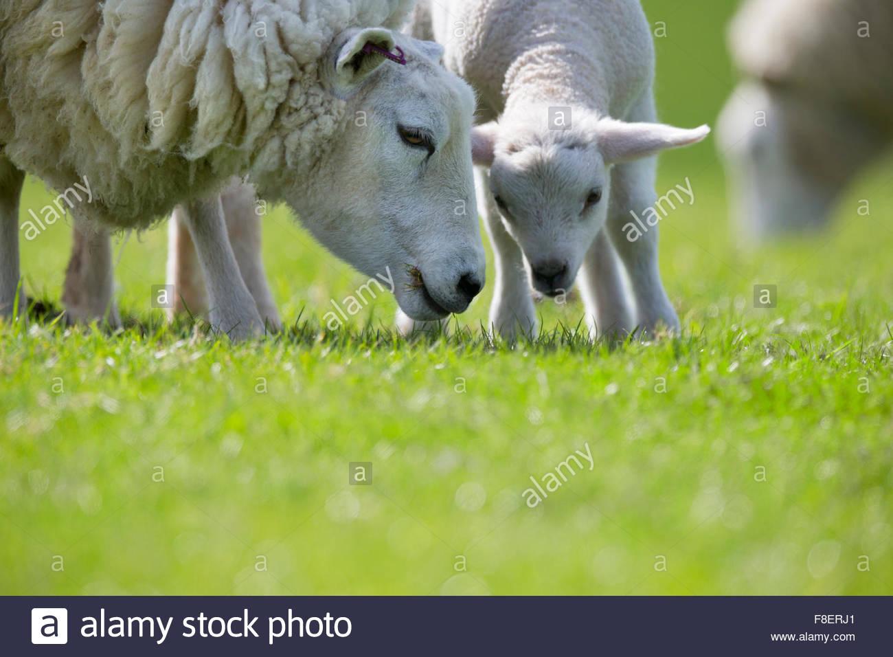 Pecore e agnelli pascolano in verde erba a molla Immagini Stock