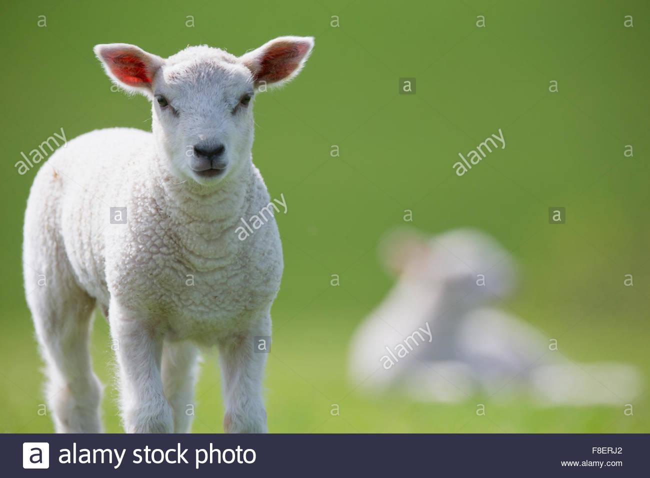 Ritratto di agnello in verde erba a molla Immagini Stock