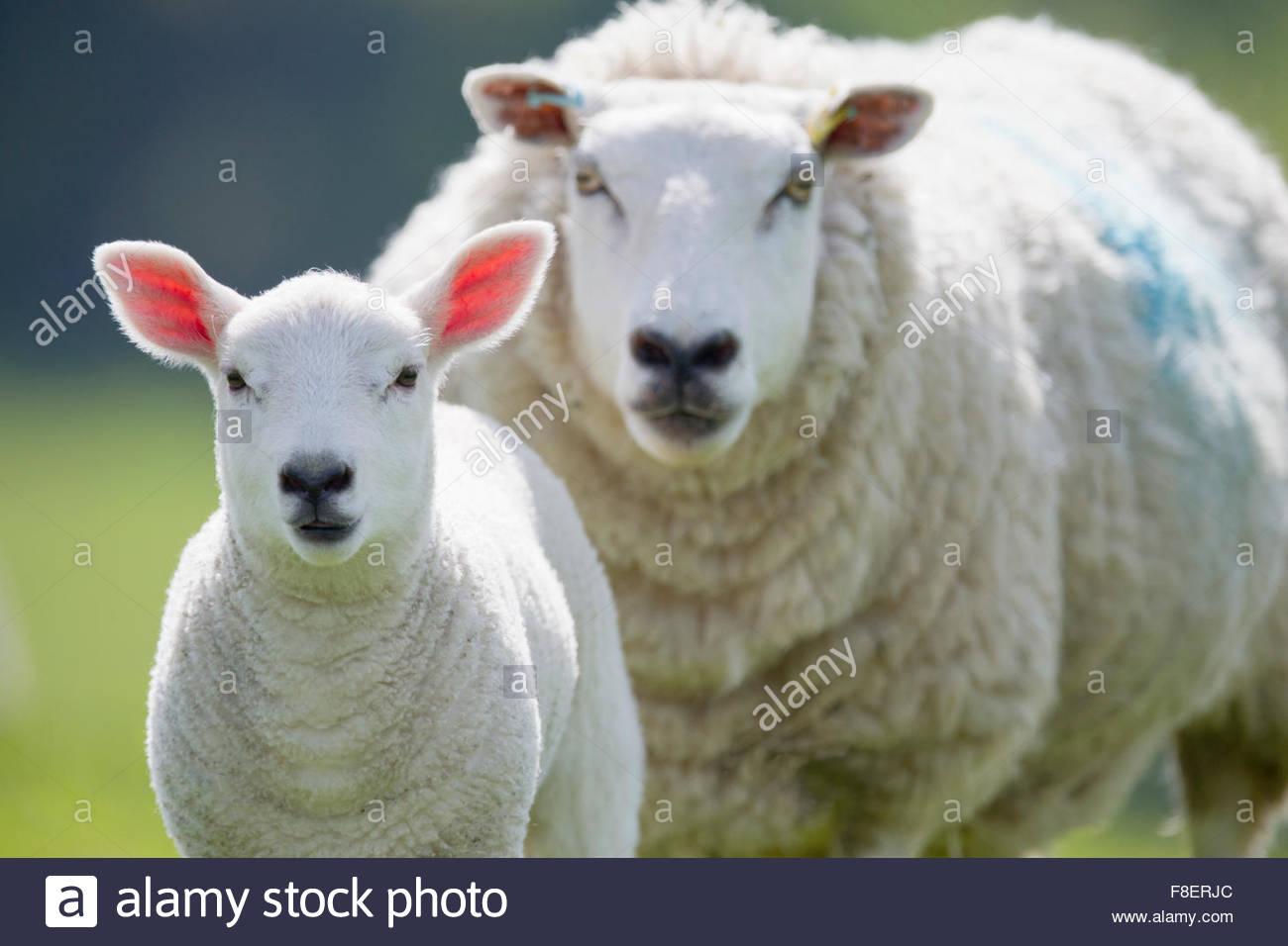 Ritratto di pecore e di agnello, la messa a fuoco su oggetti in primo piano Immagini Stock