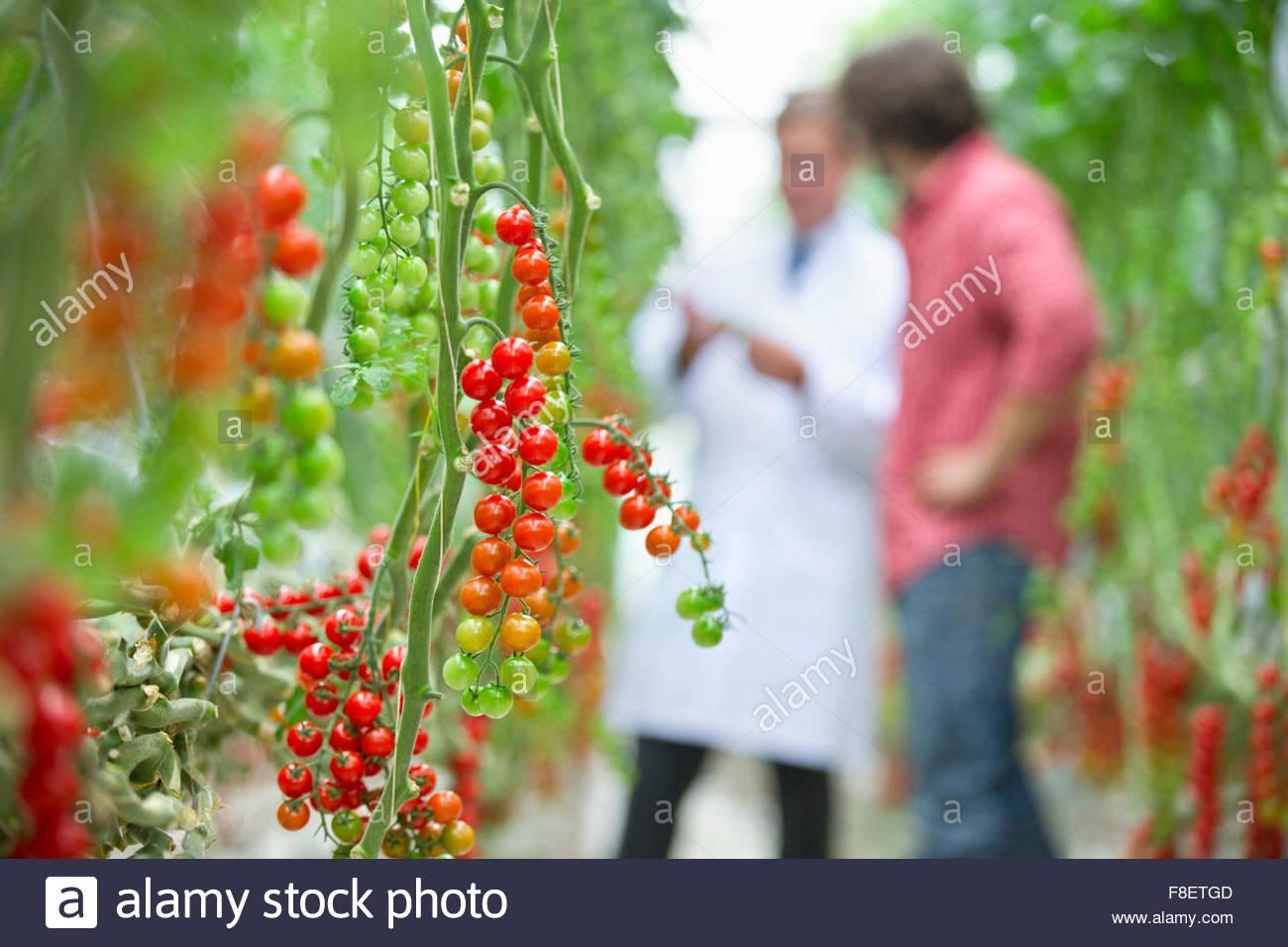 Pomodori maturazione sulla vite Immagini Stock