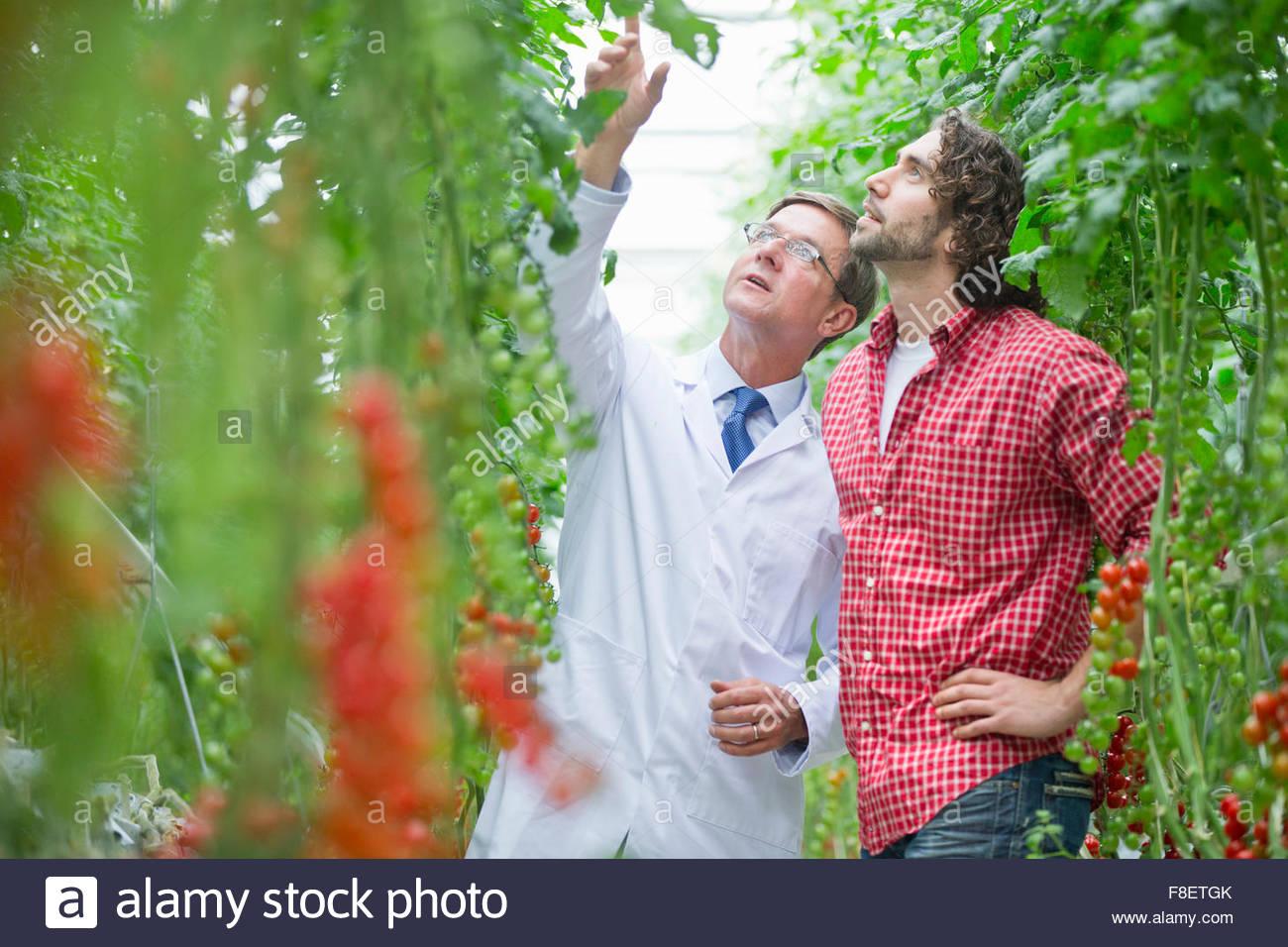 Tecnologi Alimentari e un coltivatore cercando di ispezionare le piante di pomodoro in serra Immagini Stock