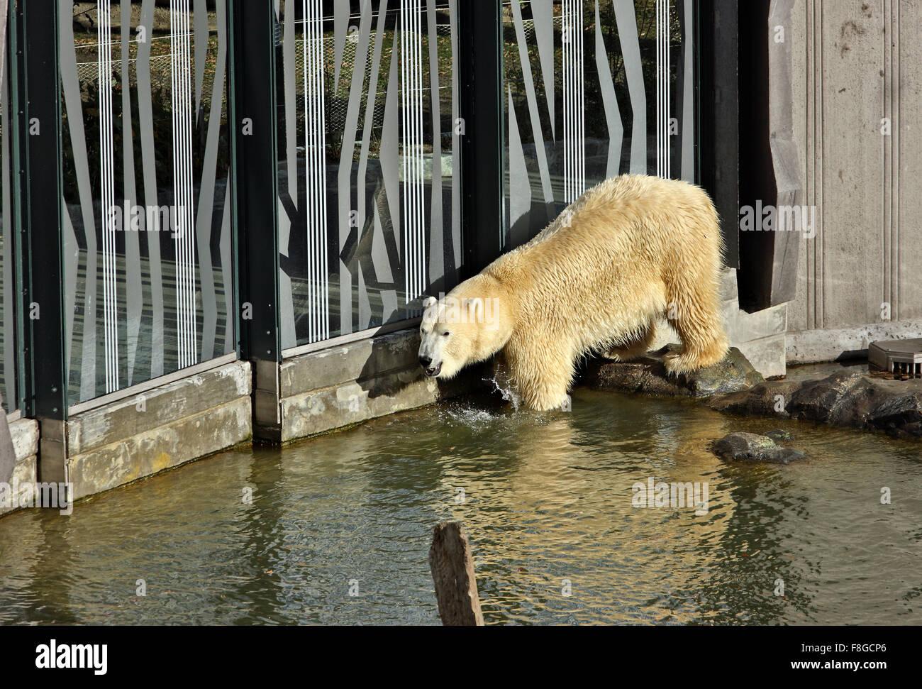 Orso polare allo Zoo (Tiergarden) del Palazzo di Schonbrunn, Vienna, Austria. Immagini Stock