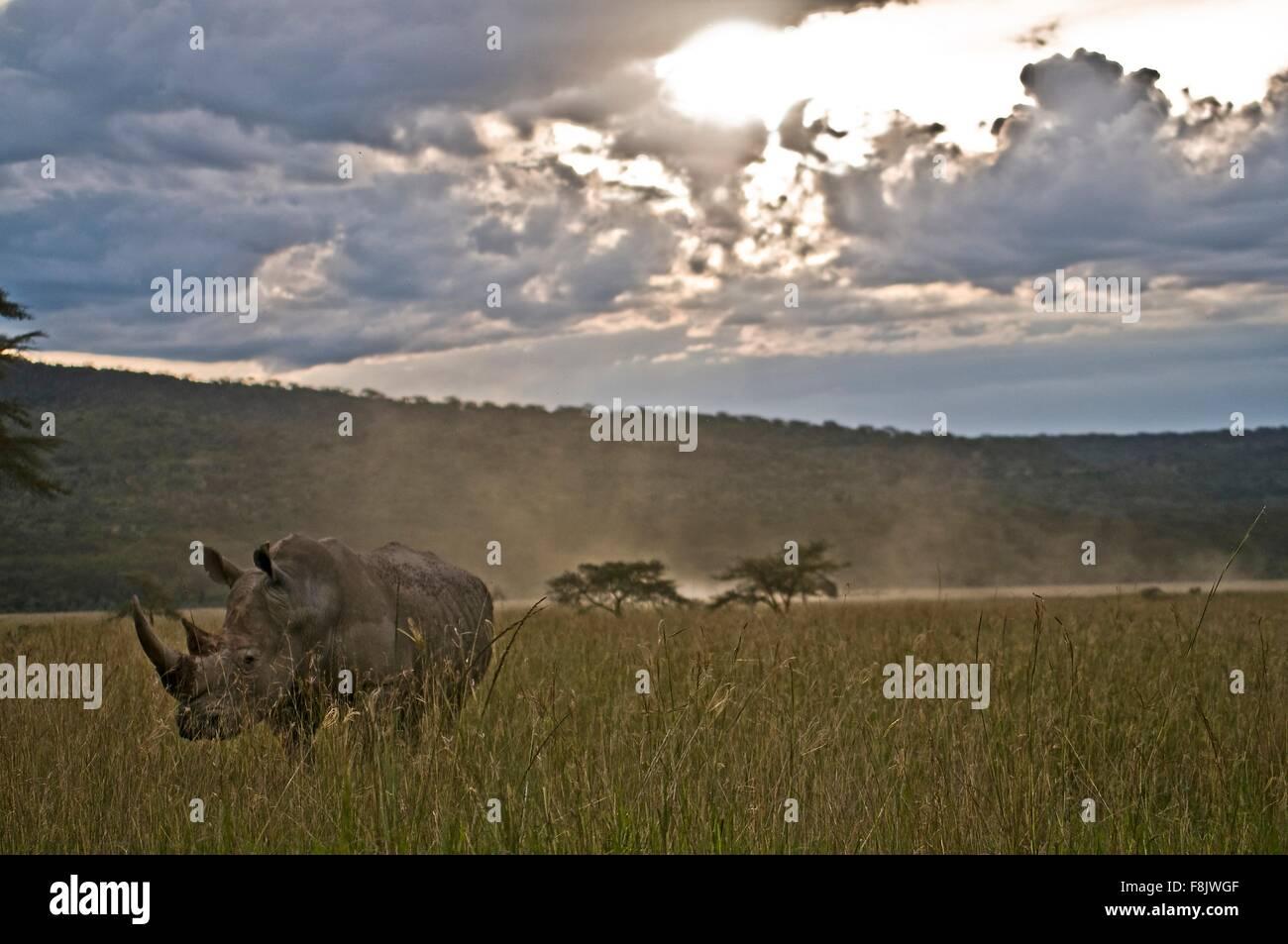 Rhino tra erba lunga al crepuscolo, Lake Nakuru, Kenya Immagini Stock