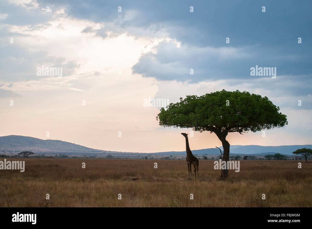 La giraffa per raggiungere le foglie al tramonto, il Masai Mara, Kenya Immagini Stock