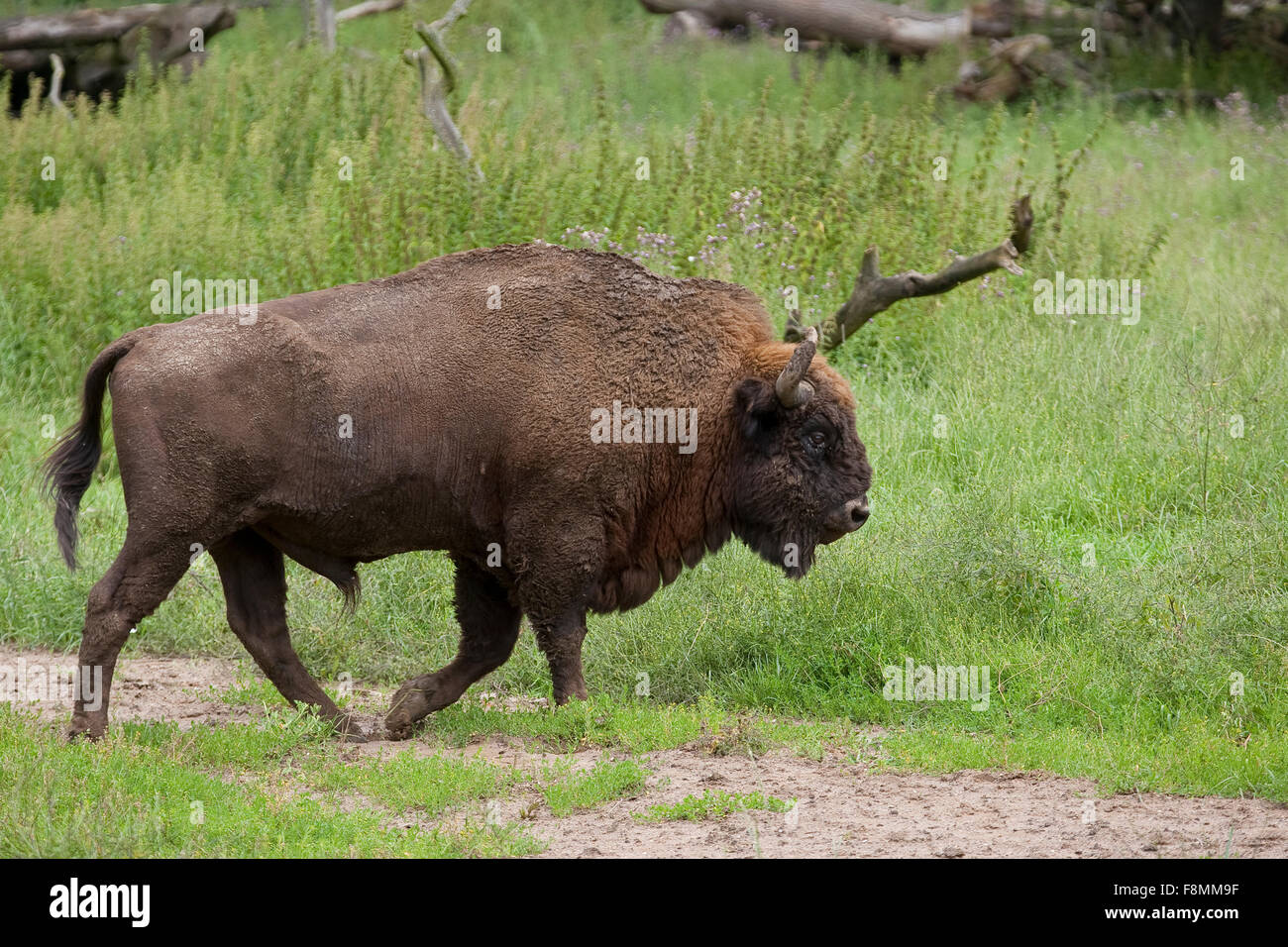 Il bisonte europeo, wisent, legno europea bison, maschio, Wisent, Männchen, Bulle, Europäisches Bison Immagini Stock